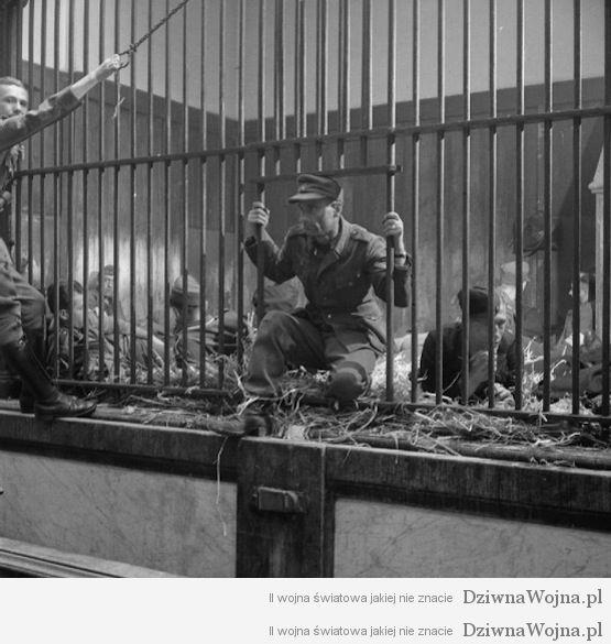 Niemieccy jeńcy i pojmani kolaboranci przetrzymywani w klatkach dla zwierząt w ZOO. Antwerpia 1944