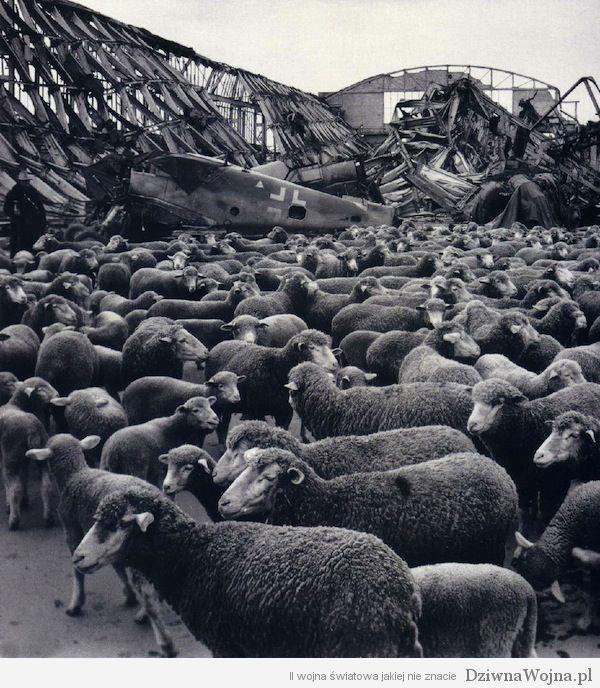 Stado owiec na terenie zbombardowanego hangaru Lipsk, prawdopodobnie rok 1946